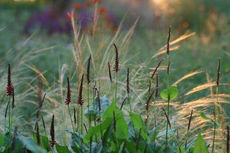 Persicaria Blackfield met Stipa tenuissima in Jakobstuin
