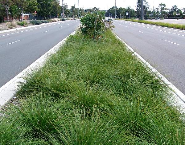Lomandra longifolia 'Breeze'