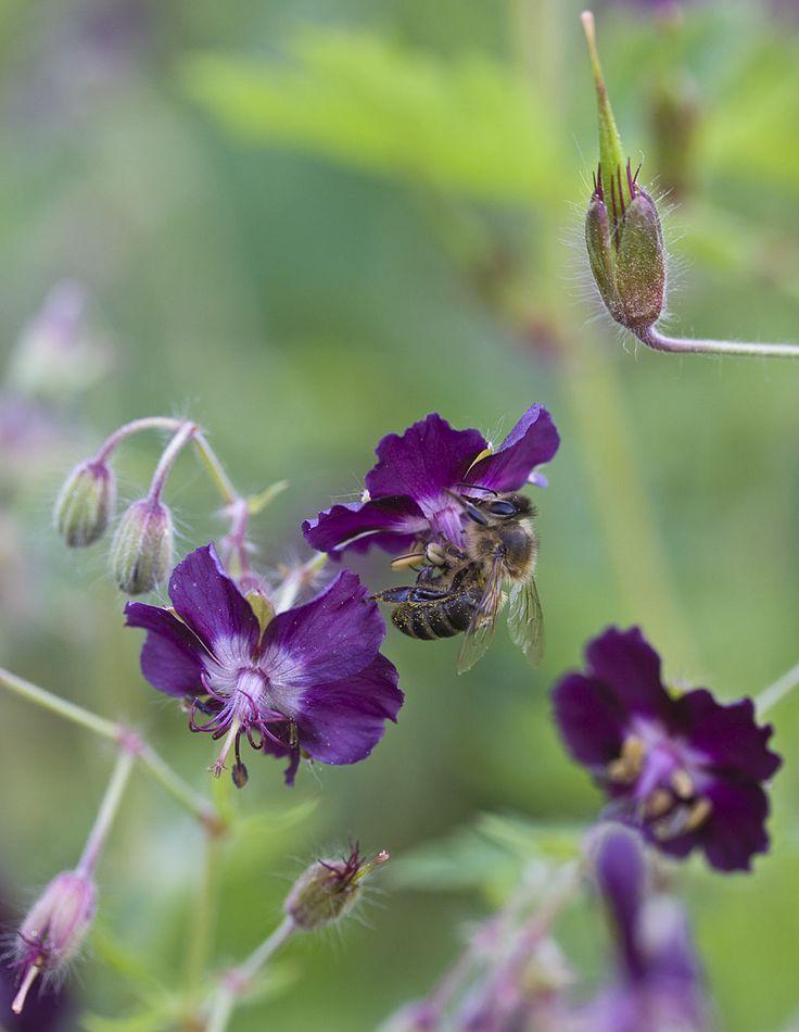Artikel details voor: Geranium phaeum - Cruydt-Hoeck Wildeplantenzaden & Bloemenweidemengsels