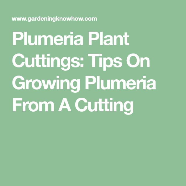Plumeria Plant Cuttings: Tips On Growing Plumeria From A Cutting
