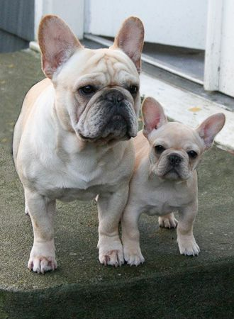 Mini Me... French Bulldogs