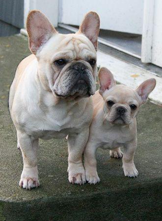 Mini Me... French Bulldogs
