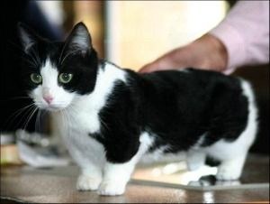... look at the cat breeds that have their origin in the munchkin cat - #smallcat- See more stunning Tea Cup Cat Breeds at Catsincare.com!
