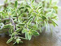 Pěstování a využití voňavého tymiánu