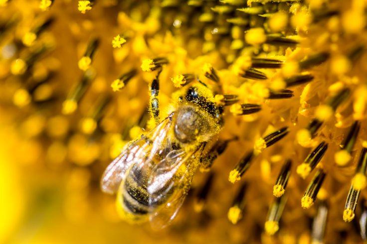 Pszczoly Lubia Miasto Miasto Lubi Pszczoly Inspirowani Natura Animals Beautiful Bee Pollination