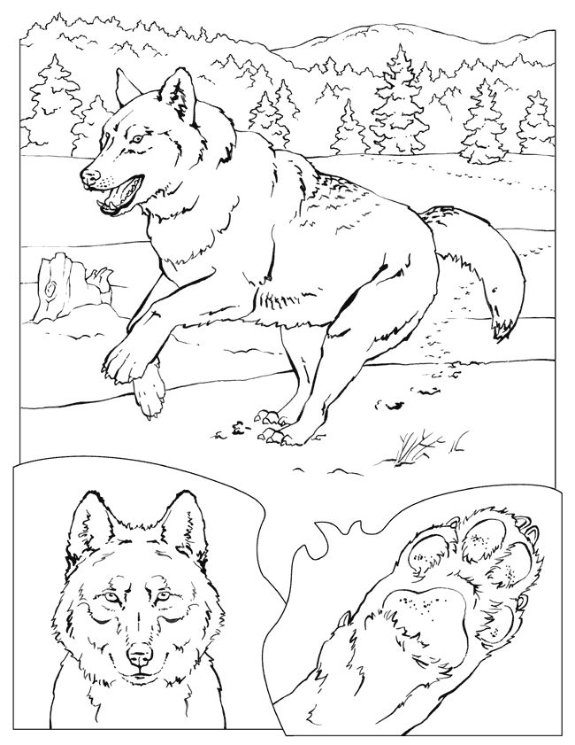 25 Best Wolf Coloring Pages Images On Pinterest