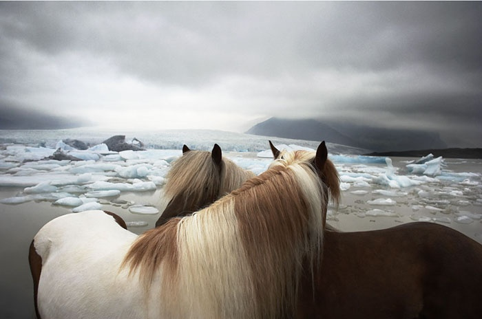 horses: At The Beaches, Animal Photography, Timflach, Beautiful Hors, Tim Flach, Animal Stories, Wild Hors, Hors Photography, Iceland Out