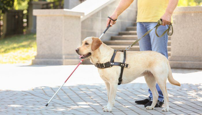 Seeing Eye Dog Adoption What You Must Know Dogs Working Dogs
