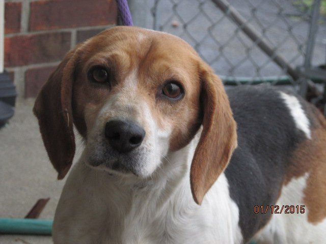 Guy The Beagle Once Abandoned In Kentucky Lives Among Royalty