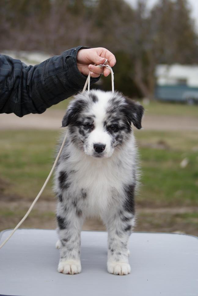 Bi Blue Australian Shepherd Putting My Order In I Would Love To Have One Just Like Him Her Via Kau Hunde Australischer Schaferhund Welpen Aussie Welpen