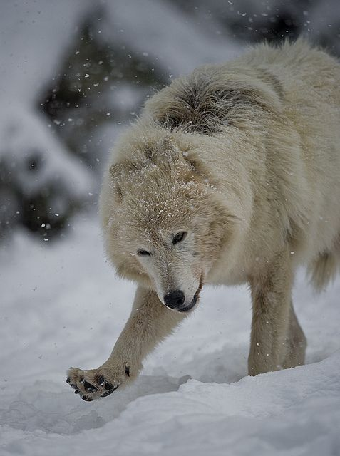 11 best images about Wolf on Pinterest