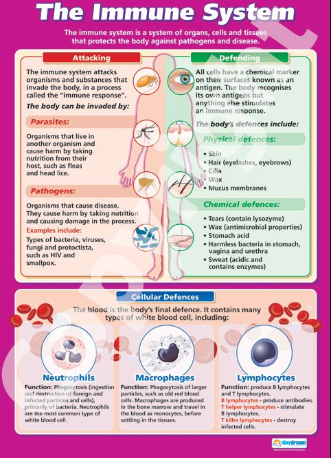Larger than A1 in size - The Immune System Wall Chart is ideal for your Biology classroom. Suitable from GCSE to A-Level, it is colourful, concise and outlines the key concepts in this topic. Purchase it for your classroom from only £5