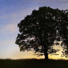 Fototapet - Sunset Trees