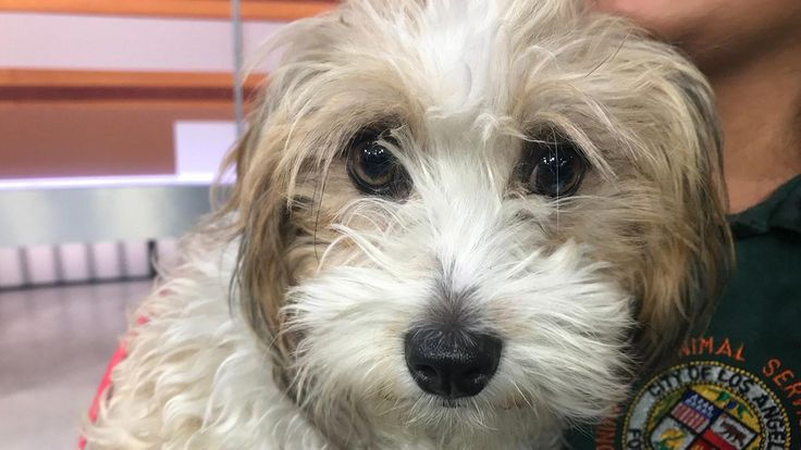 Our ABC7 Pet of the Week for Tuesday, Sept. 26, is a female maltese poodle mix named Cookie. Please give him a loving home!