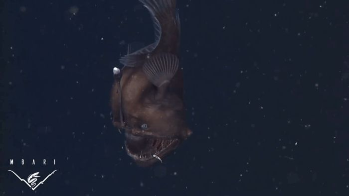 The first-ever Black Seadevil angler fish that was caught on film.