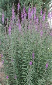 Linaria purpurea - Purpur-Leinkraut