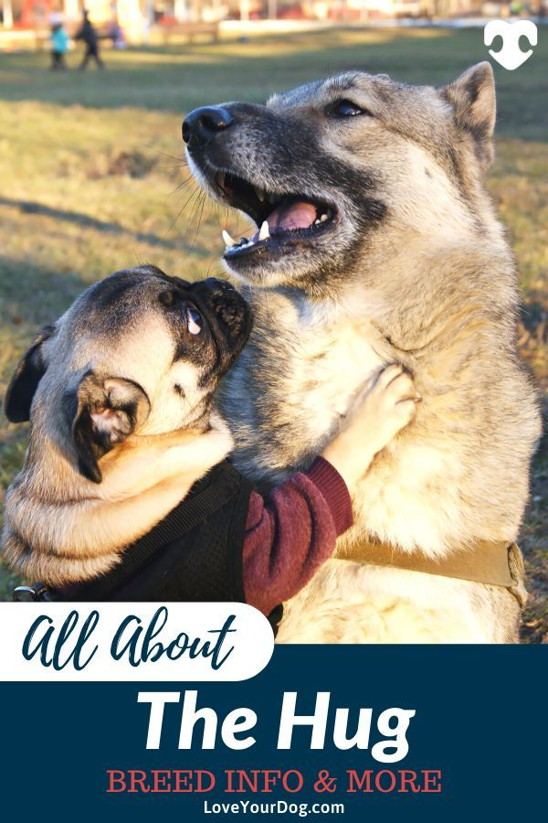 Husky Pug Mix Hug Hybrid Breed Information Puppy Prices More