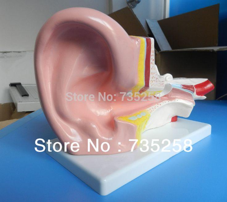 Middle Ear Model,Human ear Anatomy Model ,3 x zoom ear Anatomic Model