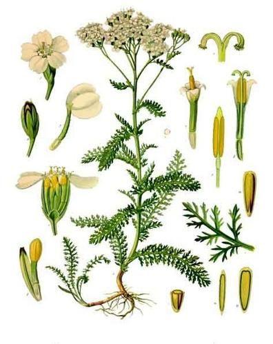 1000 id es sur le th me achillea millefolium sur pinterest for 815 plante st jean