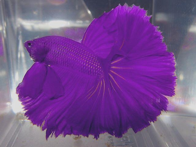 Betta Colour Patterns - Live tropical fish