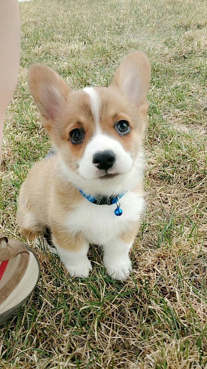 We just got Archer our cute little corgi pup!