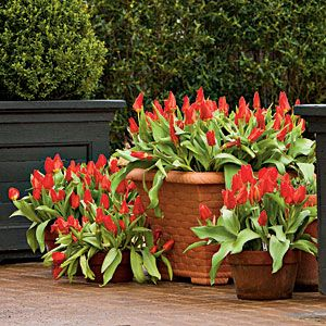 How To Plant Bulbs in Containers | Planting Bulbs in Containers...