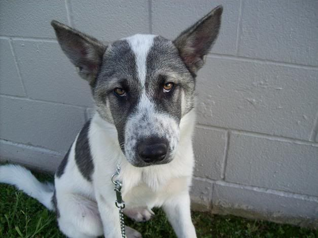 Image Result For Akita Pit Mix Animals Shelter Puppies