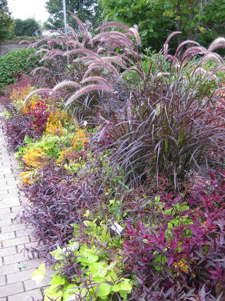 17 images about grass on pinterest gardens the plant for Purple grasses for landscaping