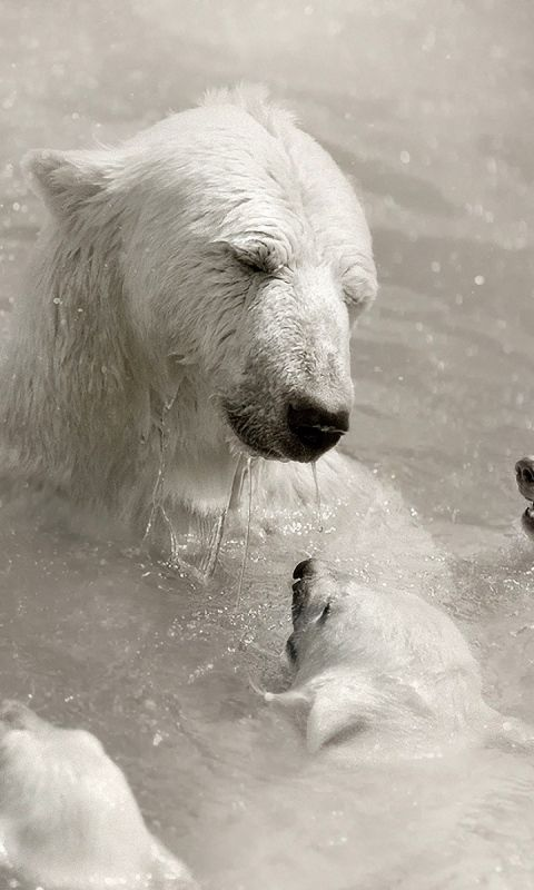 480x800 Wallpaper polar bears, cubs, caring, swimming, water
