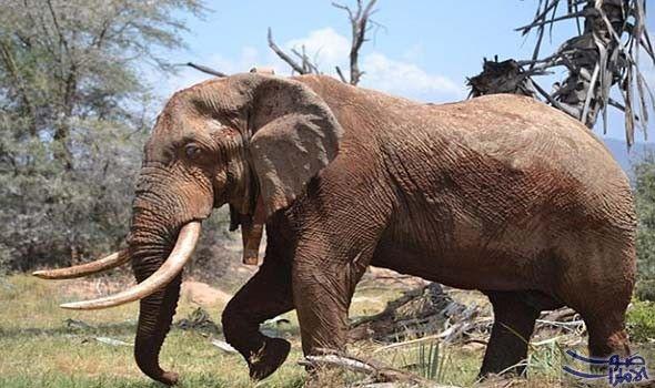 دراسة تكشف أن الحيوانات تفض ل التواجد في المنازل والطرق تتخلى الحيوانات في جميع أنحاء العالم عن الطرق البرية وتلت Animals African Bush Elephant Bull Elephant
