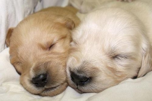 Your loyal companion is waiting for you.  Puppies were born September 15 and will be weaned approximately by November 10th.  Both male and female, Golden and English Cream are available.  Puppies are