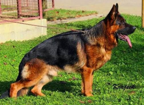 Mittelwest Kennels is to produce the best German Shepherd litters of puppies for sale in the world.#tessamartinezmittelwest