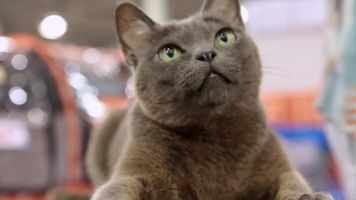 5 Reasons a Korat Might Be the Right Cat Breed for You http://www.vetstreet.com/our-pet-experts/5-reasons-a-korat-might-be-the-right-cat-breed-for-you?WT.mc_id=RSSFeed