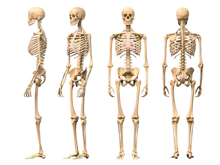 the skeleton anatomy model with stand is also made to keep the, Skeleton