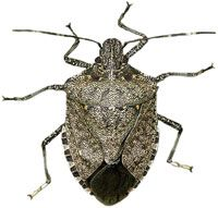 STOP STINK BUGS! - Get rid of brown marmorated stink bugs - Learn how to get rid of stink bugs and kill stink bugs.
