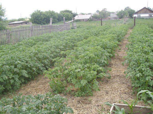 Как выращивать картофель под сеном?