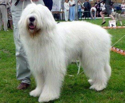 Южнорусская овчарка (South Russian Shepherd Dog)