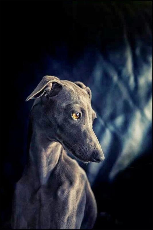 Итальянский грейхаунд ( Малая итальянская борзая, Левретка) Italian Greyhound. фото