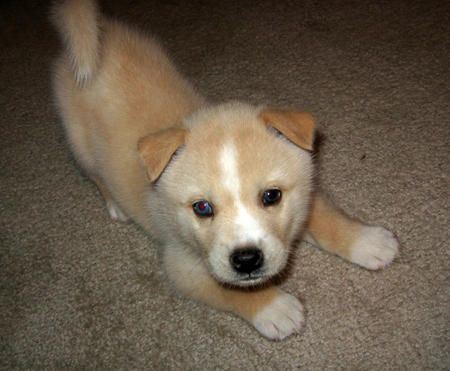 Corgi/Shiba Inu Mix - cuteness level is reaching critical mass! If I ever get a dog this is the one.