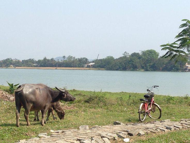 こんな環境で育てられたら美味しいこの写真から何か学ぶことはありますか  日本でも牛の放牧によって育てるケースがありますが  未開拓な土地田舎地域を中心にが多いためか写真のように放牧で育てられることが多いです  印や首輪中にはヒモもついていない牛がいます  ベトナム人の友達に聞いた所飼い主はもちろんいるとのことでした奈良県のシカのような感じでしょうか  どうでもいい話しがあります  牛が牛舎の中(制限された世界で生活をする場合やることやるべきことは極めて限定的ですが  放牧されると行動の範囲がものすごく広がります  これは僕たち人間も同じで  人から決められた線路を歩くのはそのことだけに集中すれば良くやるだけなのでまだ楽  ただこれが  何でもしていいから好きにやっていいよ  と言われると逆に何をしていいか分からなくなり行動が止まってしまうことがあったりします...  そして自分で何をするか決め選択してやるべきことを探し行動する...  これはあこがれの自由に隠れる自由な世界の難しい所だと思います  ここまでの話しで何か思い当たる所はありましたか…