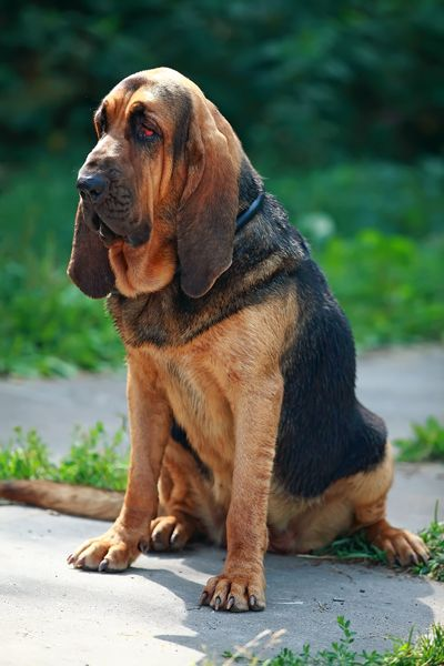 Bloodhound ..... so cute .....