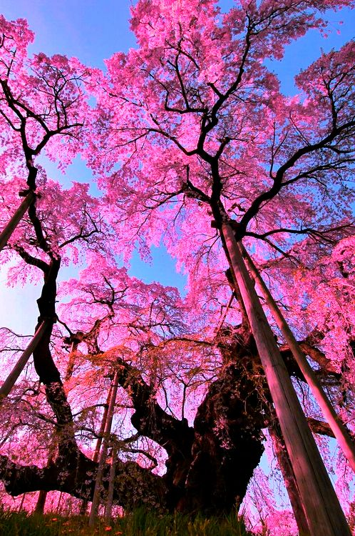 Beautiful pink blossoms