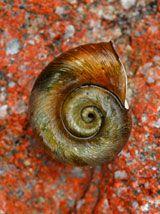 A sea shell shaped like the letter G