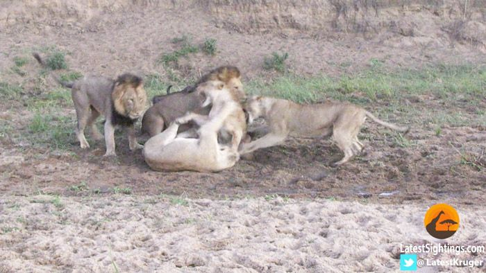 Hungry lions bring down a buffalo cow, but things change when a rival lioness gets involved!