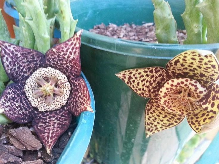 Orbea variegata (dark form and normal)