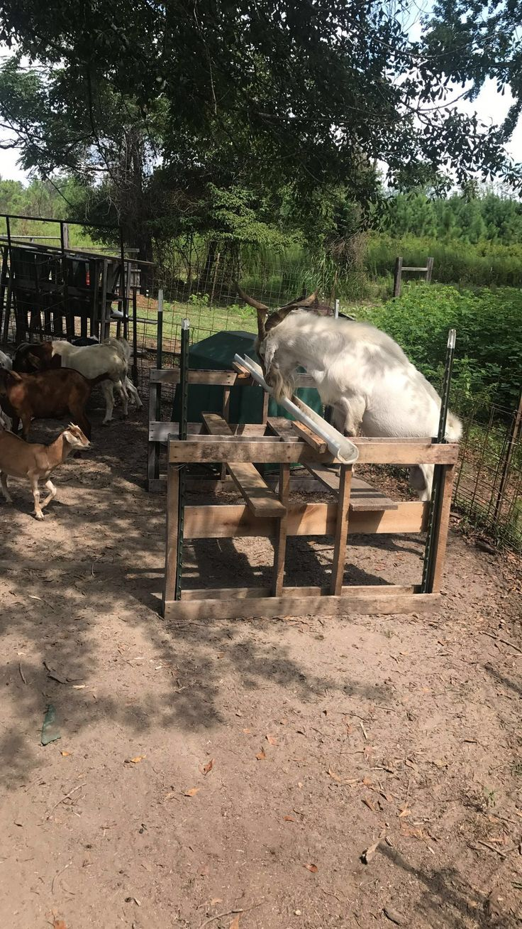 Show goat feeder  Made with two pallets, two boards, one 3 inch pvc pipe, and four t posts
