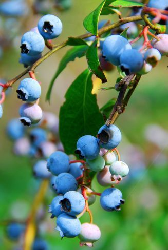 how to grow blueberry plants from seeds