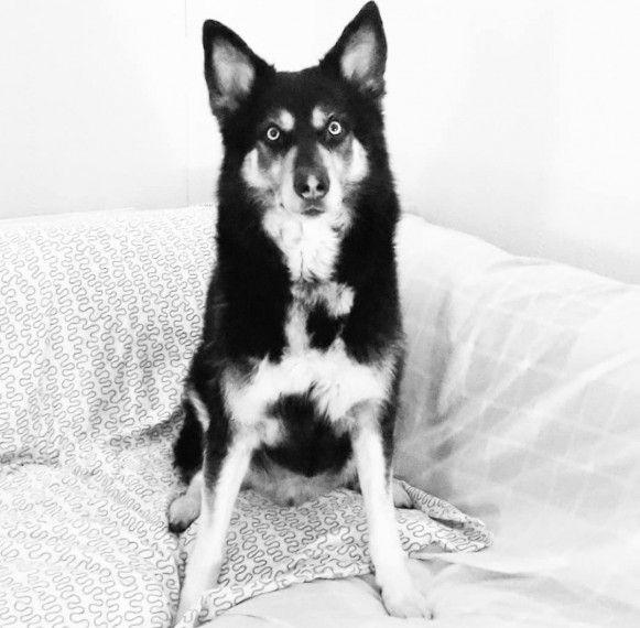 Siberian Husky Cross Wolfdog Stud Available Husky Husky Cross
