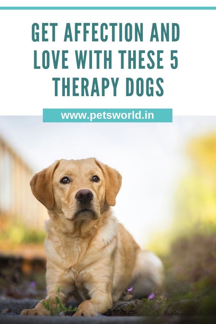 Get Affection And Love With These 5 Therapy Dogs Pet Blog Dogs