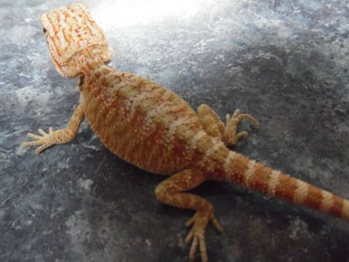 Bearded Dragons For Sale - A-1 Reptiles.net